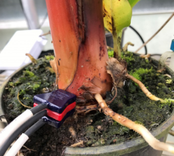 SFM1 Installed Into Potted Banana Plant